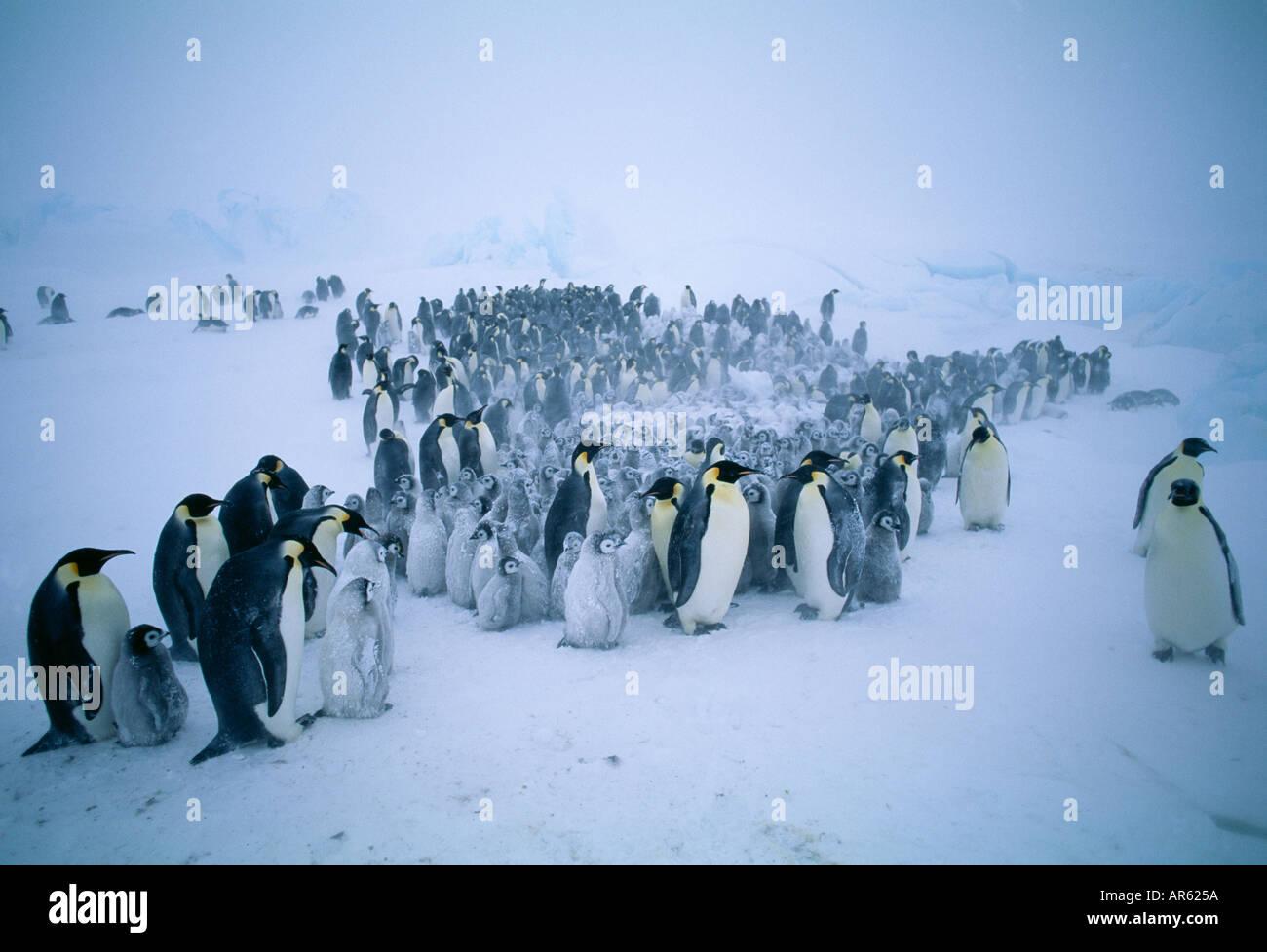 Emperor Penguin Aptenodytes forsteri group gathered together during storm Weddell Sea Antarctica - Stock Image