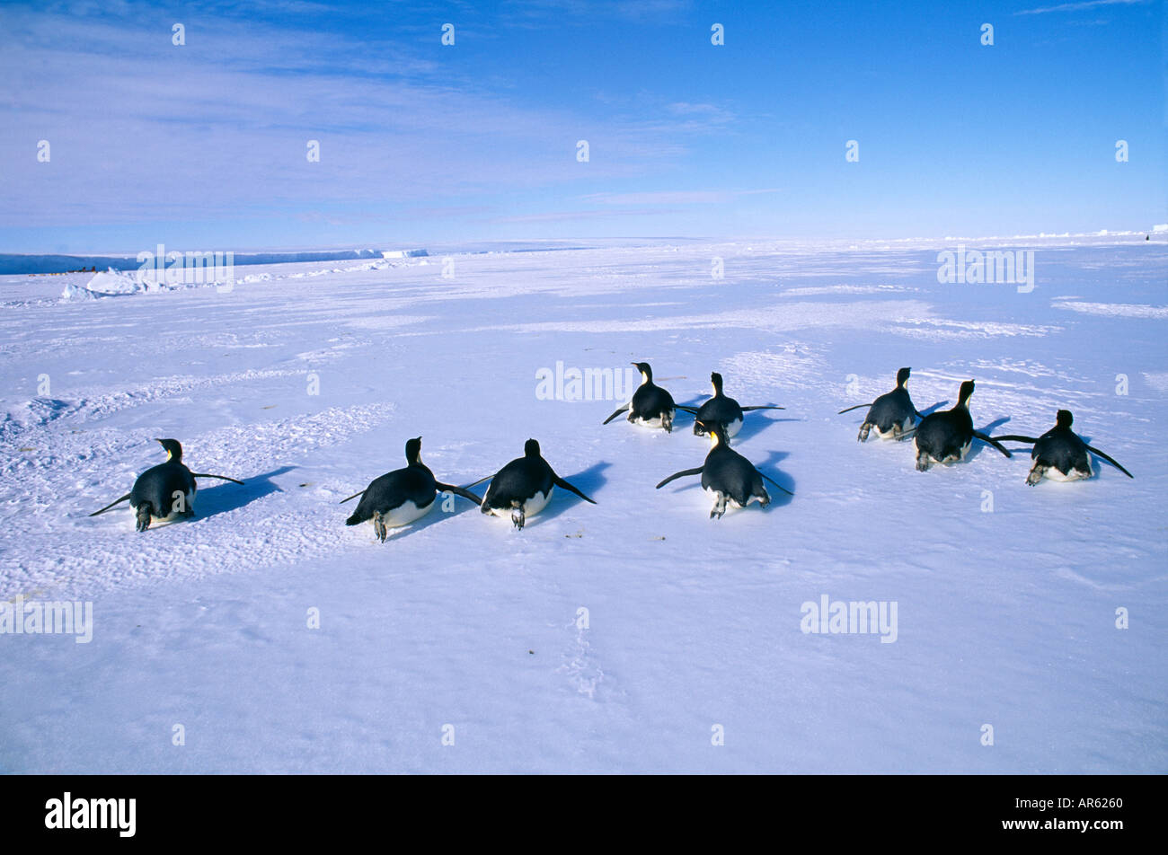 Emperor Penguins Aptenodytes forsteri group returning to colony from the sea across the sea ice of the Weddell Sea - Stock Image