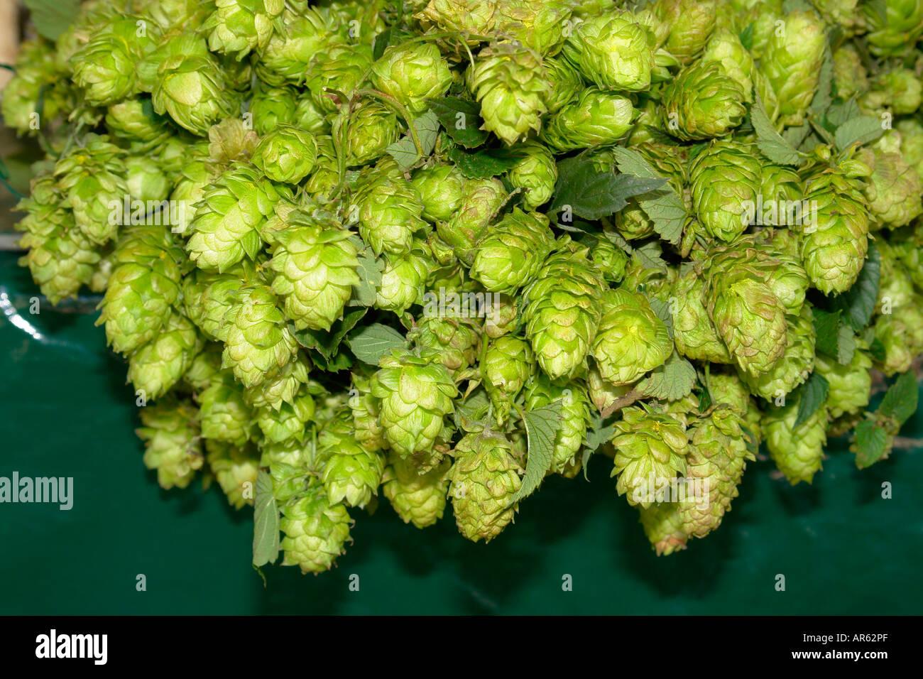 Hop flower Humulus lupulus - Stock Image