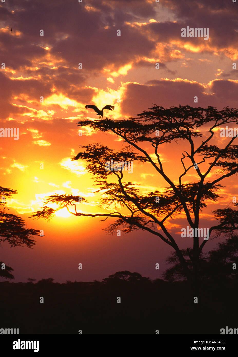 Maribou stork (Leptoptilos crumeniferus) in Acacia Tree at Sunset in the Serengeti National Park, Tanzania, Africa Stock Photo