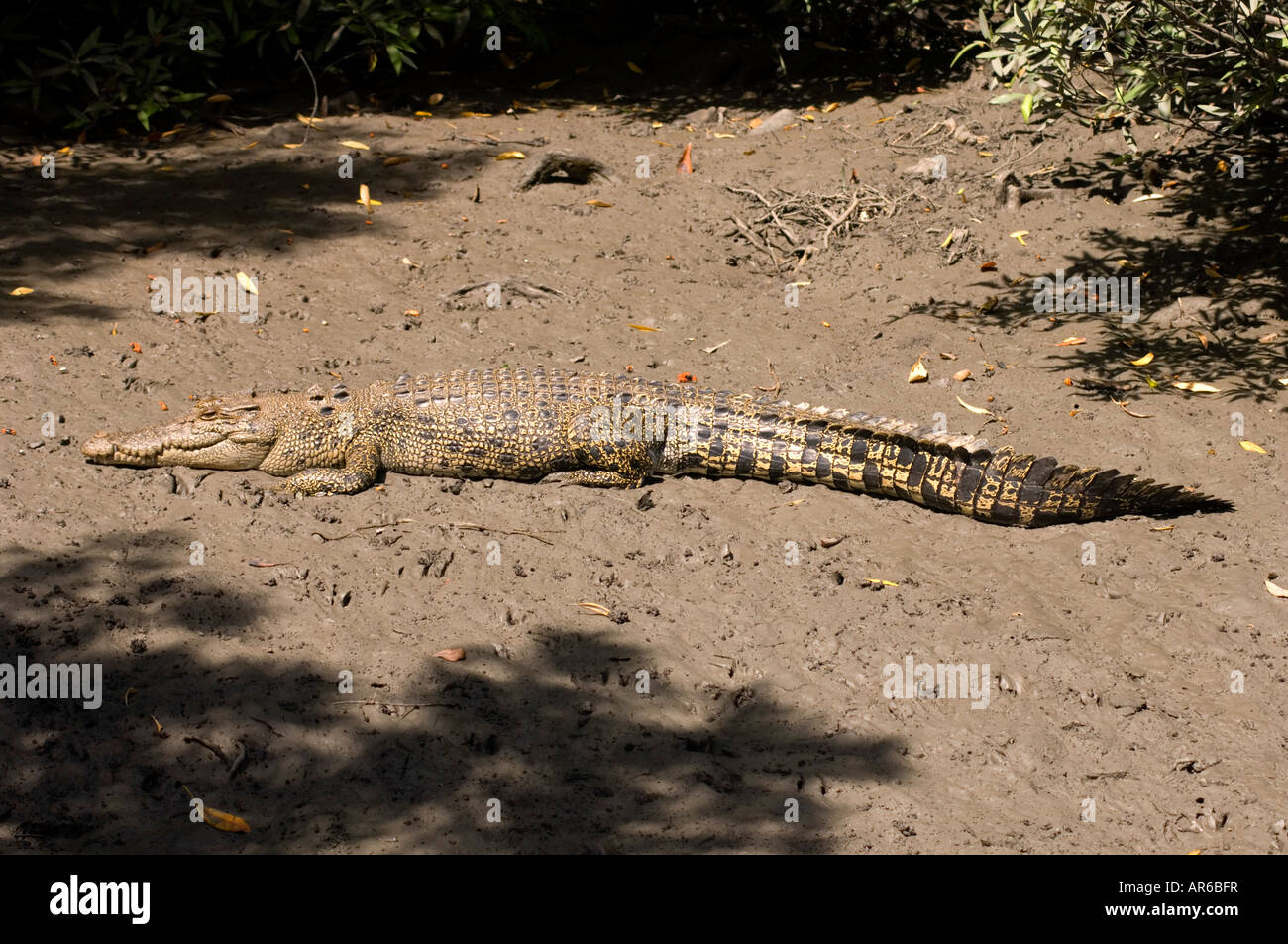 An Australian saltwater or estuarine crocodile sunning itself on a muddy bank - Stock Image