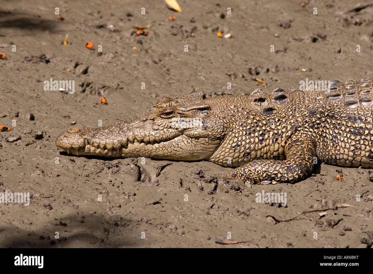 Head and front end of an Australian saltwater or estuarine crocodile - Stock Image