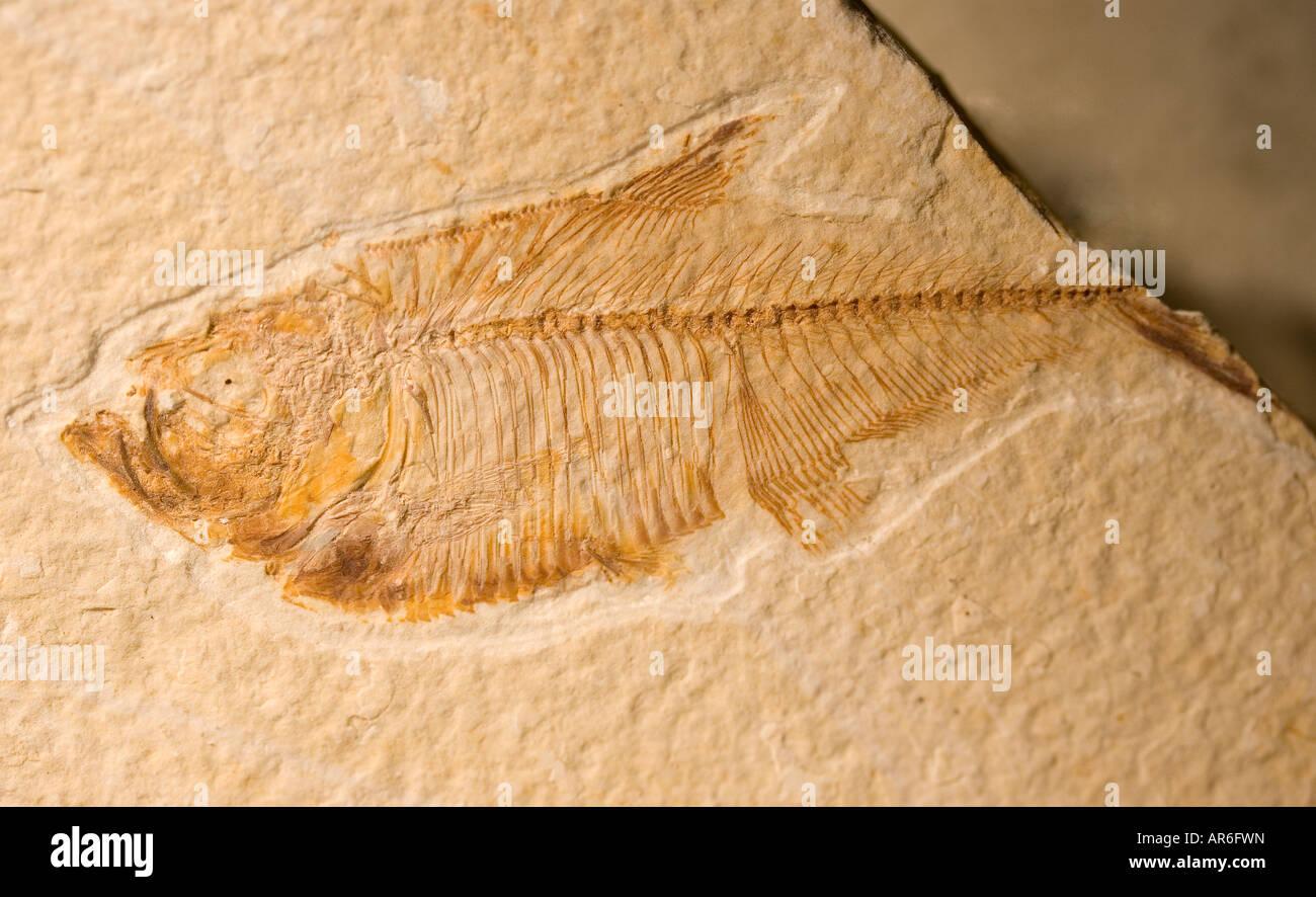 Eocene Fossil - Stock Image
