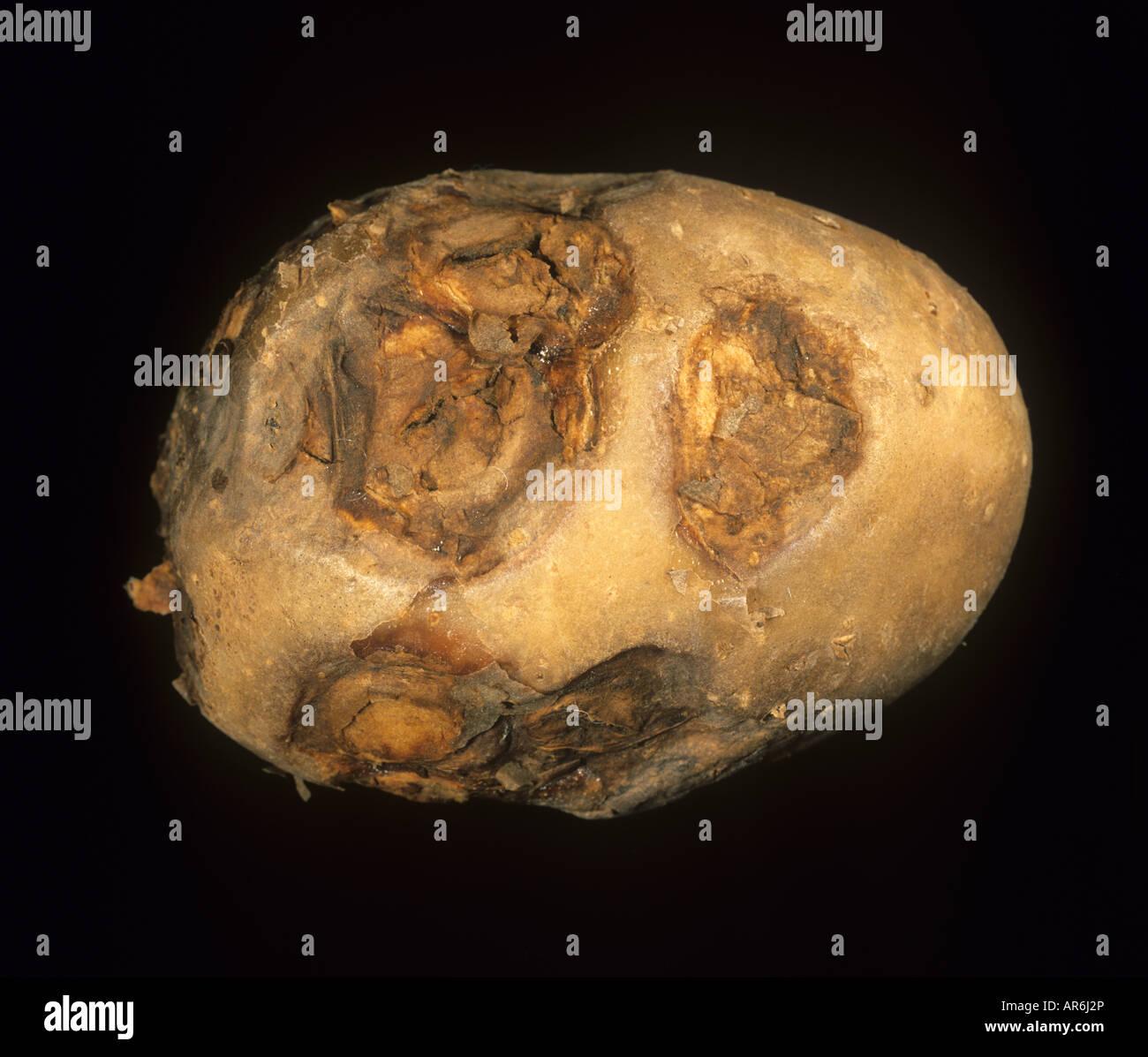 Tuber symptoms of Potato virus Y ntn sunken ring spots - Stock Image