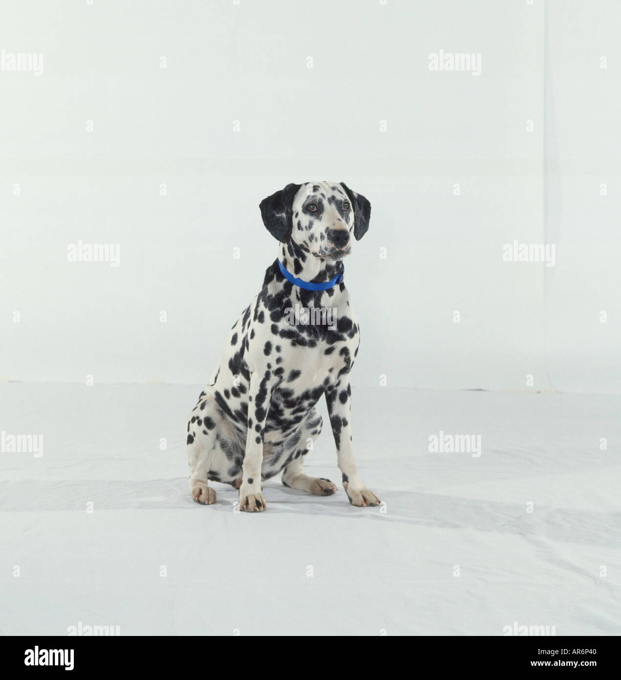 Spotty Black And White Dalmatian Sitting Wearing Blue Collar Front View