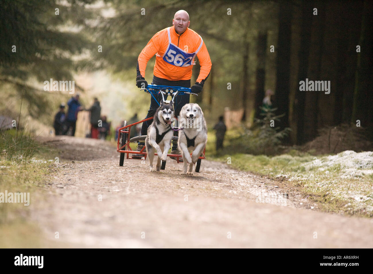 Dog Sport Scotland Husky Huskies sled dog racing in Ae Forest Dumfries and Galloway UK - Stock Image