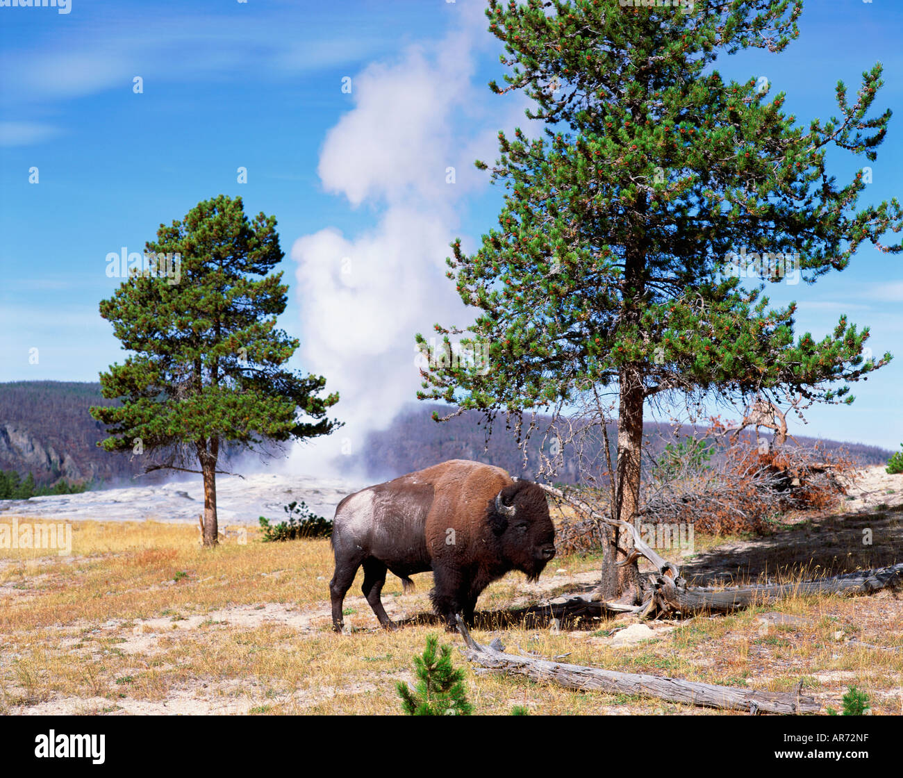 Usa Wyoming Yellowstone National Park Bison Old Faithful