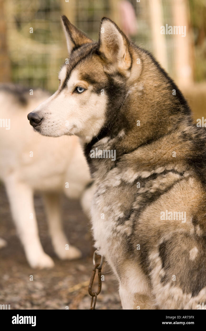 Dog Sports Scotland portrait of a Husky dog at sled dog racing at Ae Forest Dumfries and Galloway UK - Stock Image