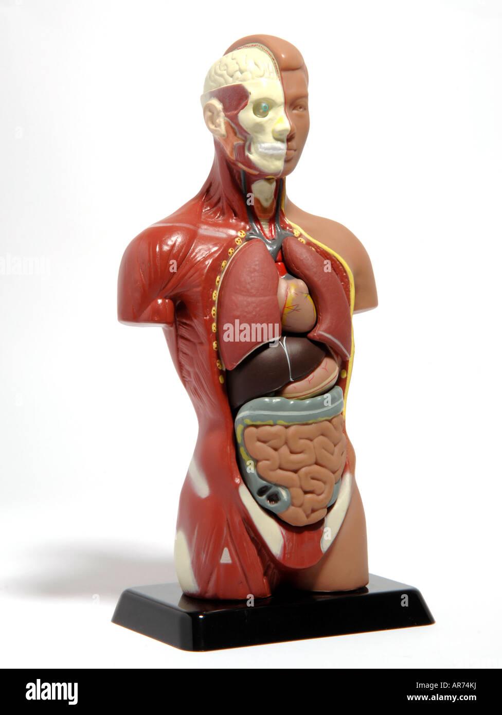 Anatomy Doll Stock Photo 15960677 Alamy