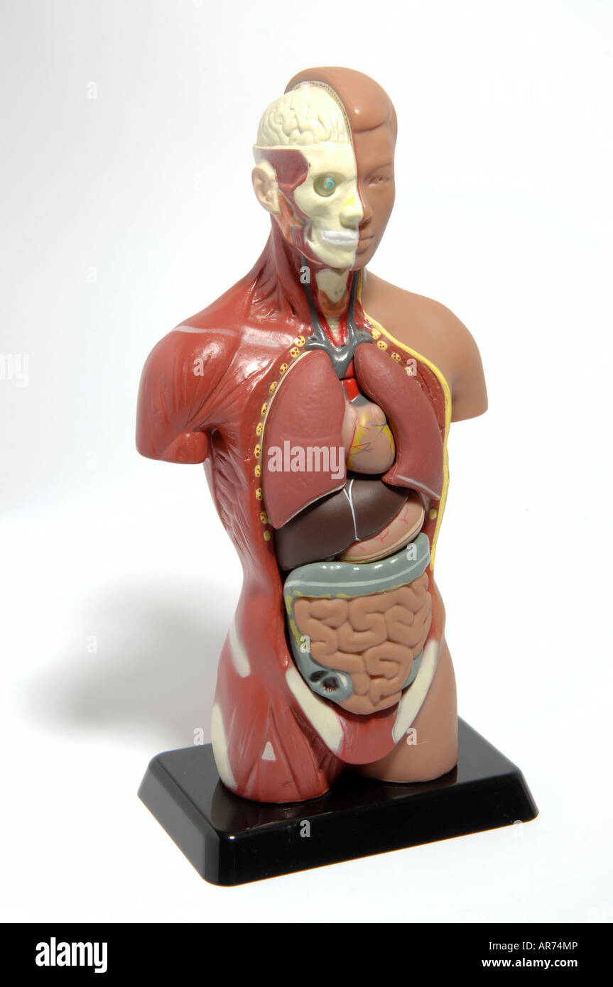 Anatomical Doll Stock Photos Anatomical Doll Stock Images Alamy