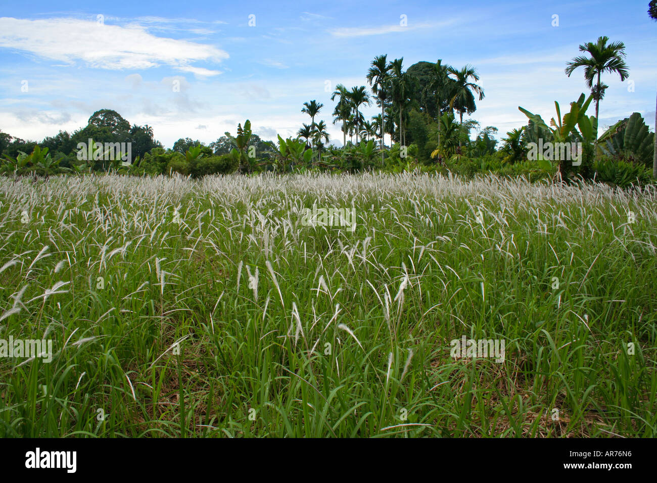 Rhizomatous grass (imperata cylindrica) known as Cogon grass(US),  blady grass (Australia) or lalang (Malaysia). - Stock Image