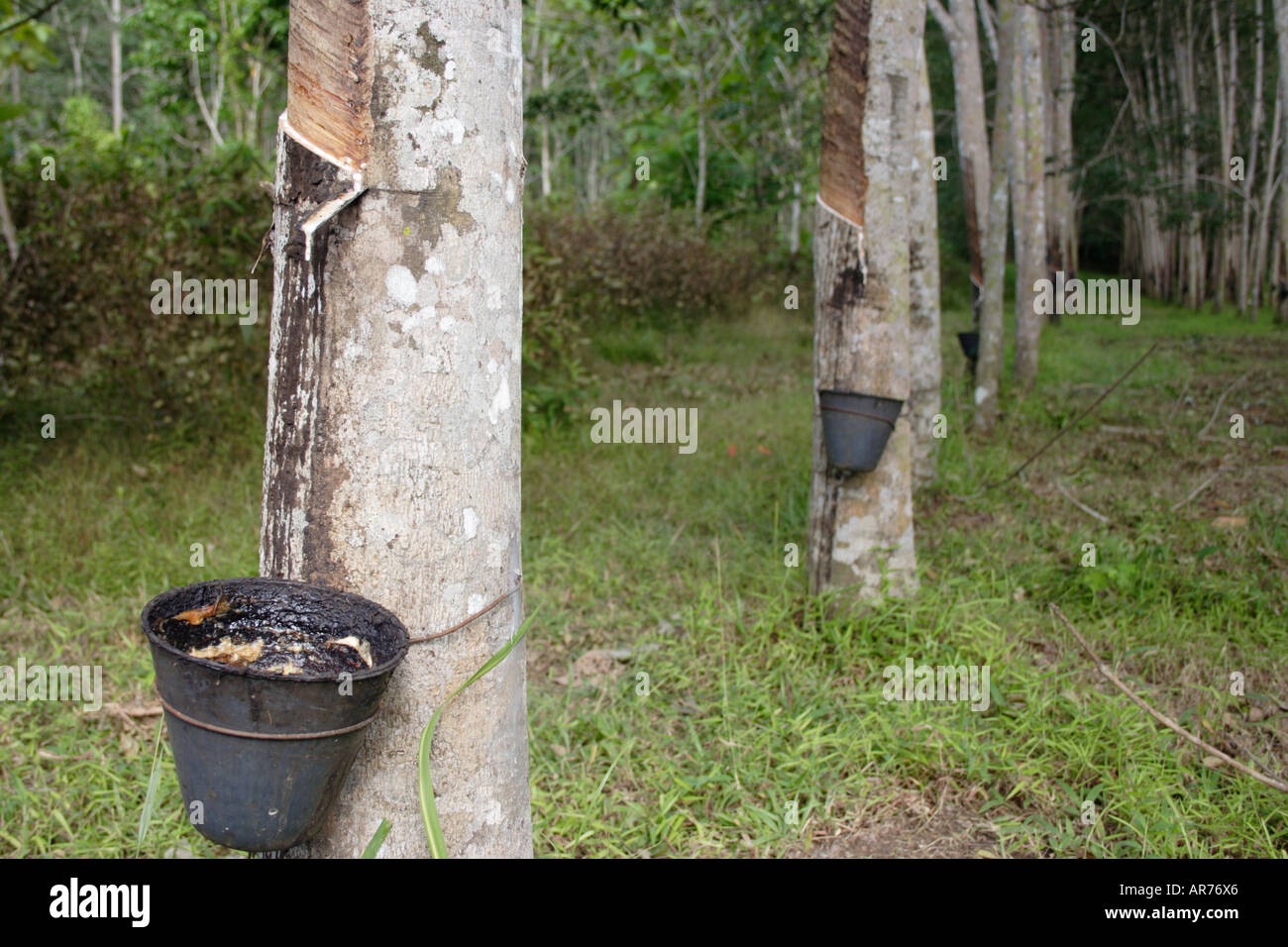 Rubber plantation in Malaysia Stock Photo: 9120805 - Alamy