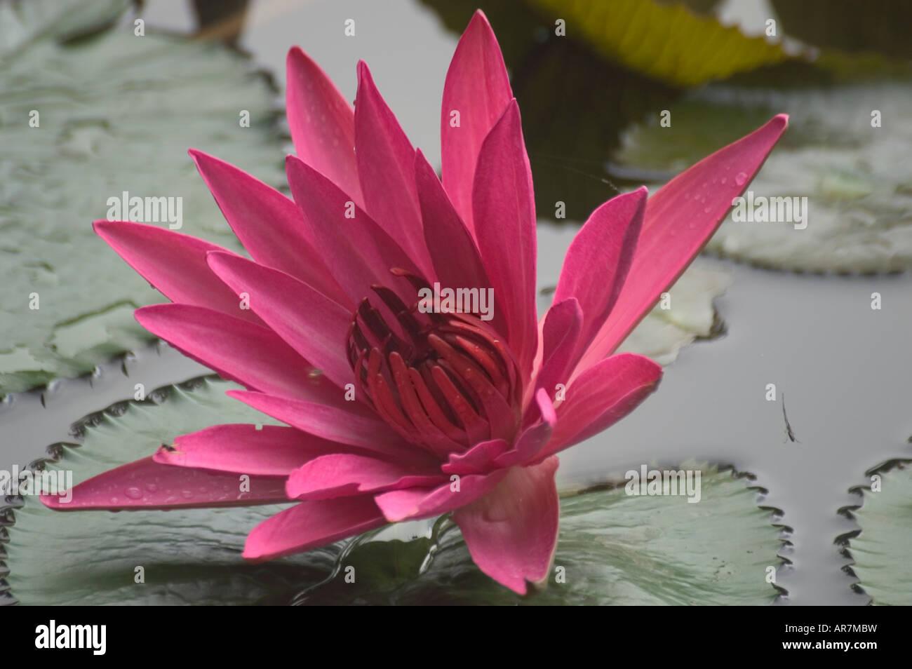 Beautiful lotus flowers stock photos beautiful lotus flowers stock pink nymphaea water lily blooming in late november luang prabang laos stock image izmirmasajfo Images