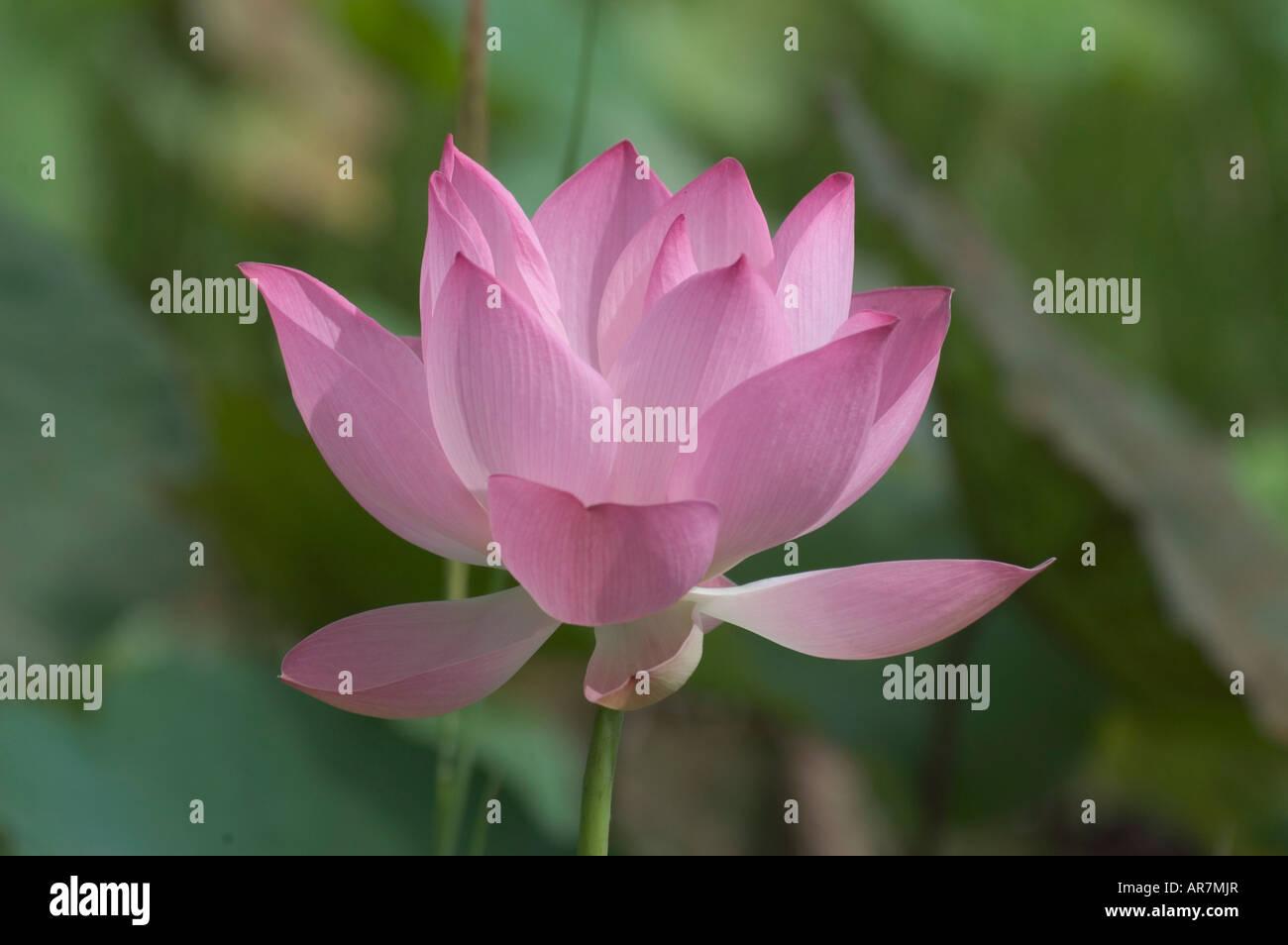 Blooming pink lotus flower in Novemer Banteay Srei, Angkor Cambodia Stock Photo