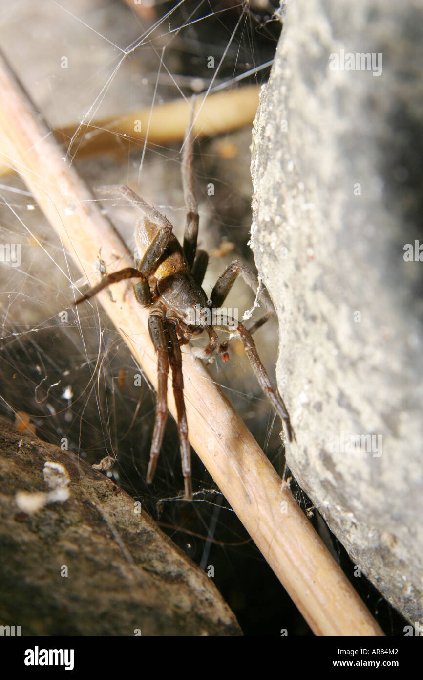 Fen Raft Spider Dolomedes plantarius a fishing spider guarding the nursery web with its spiderlings Stock Photo