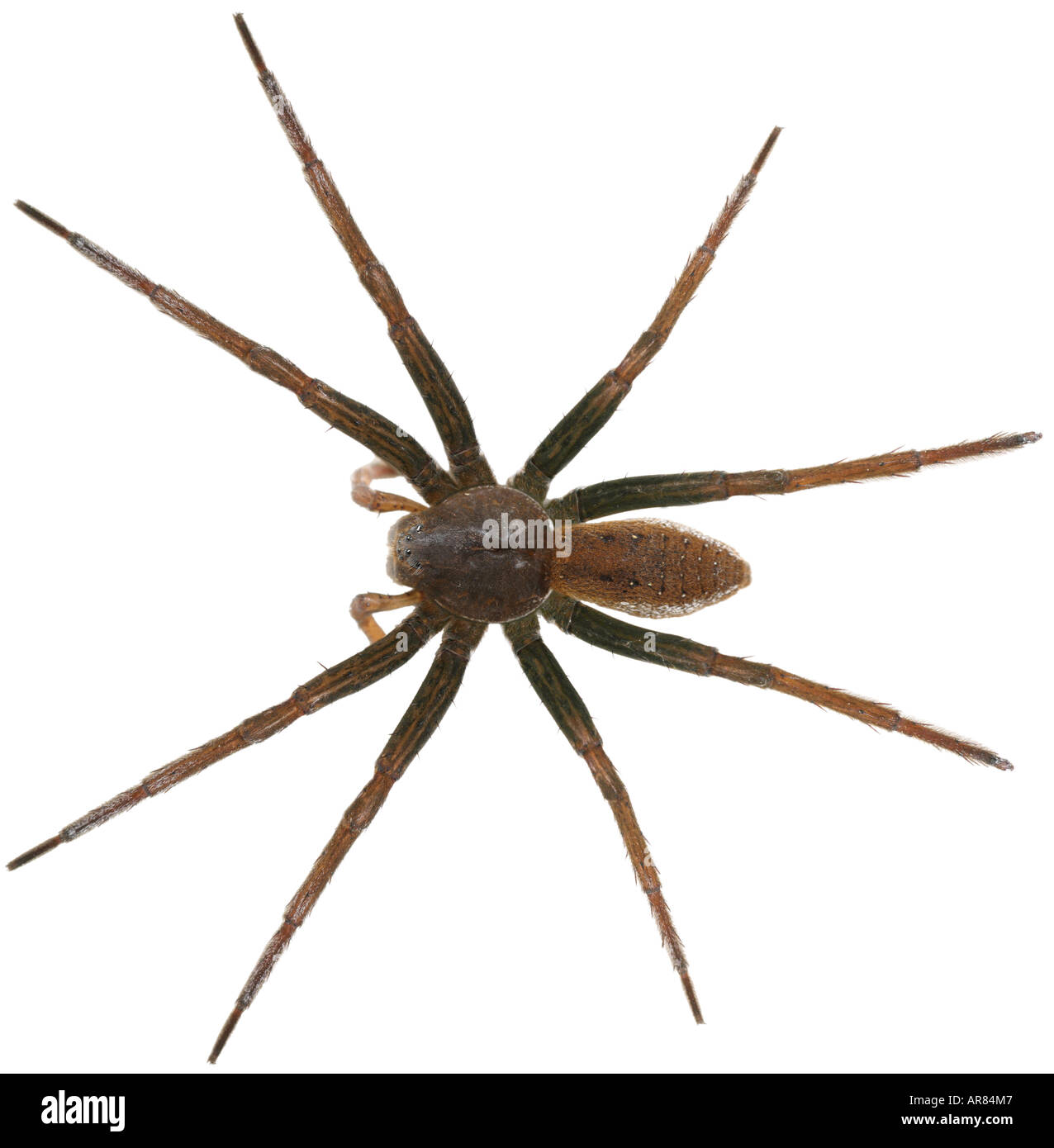 Fen Raft Spider Dolomedes plantarius, a fishing spider on white background Stock Photo