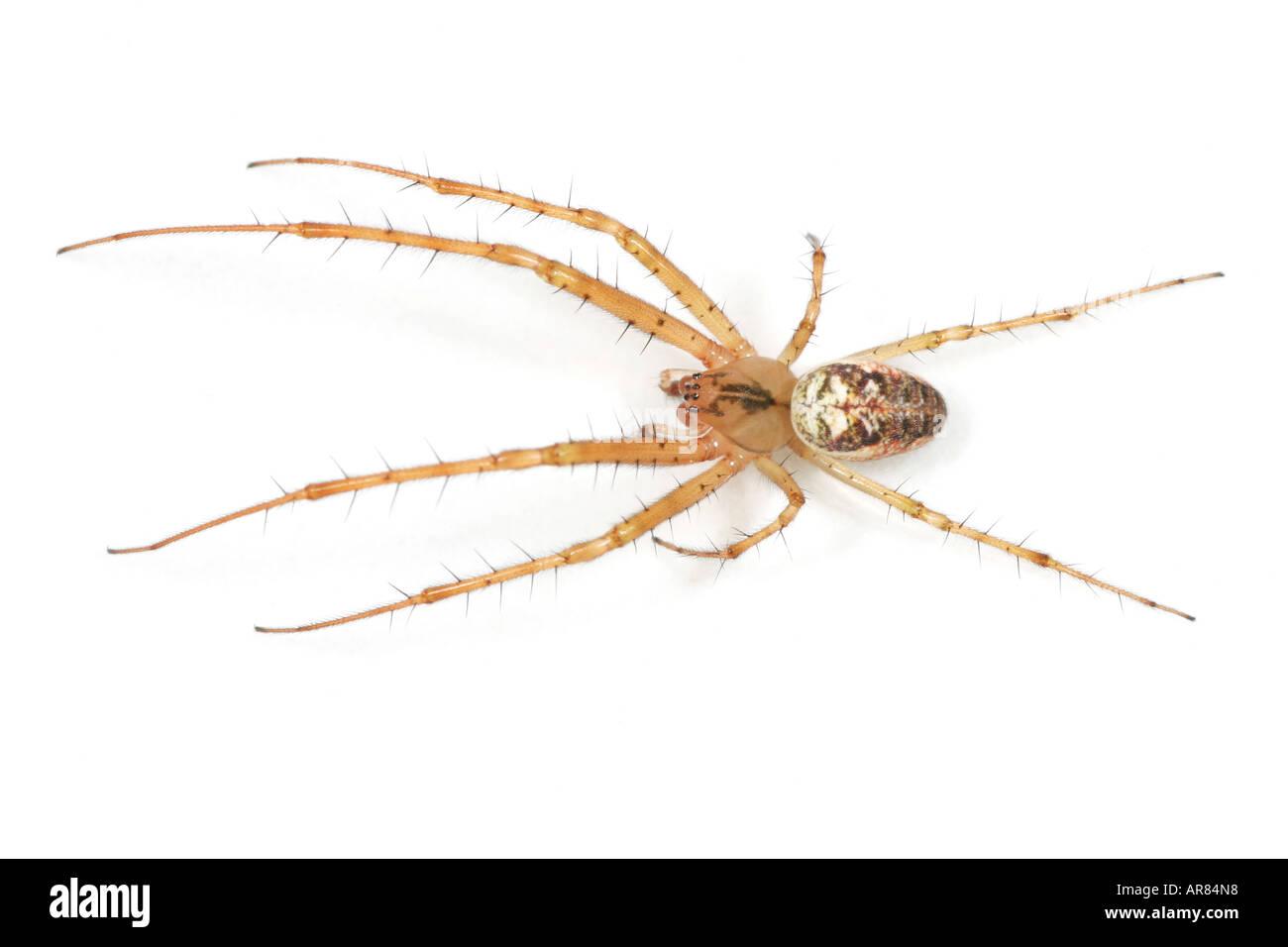 Meta (Metellina) Segmentata spider on white background Stock Photo