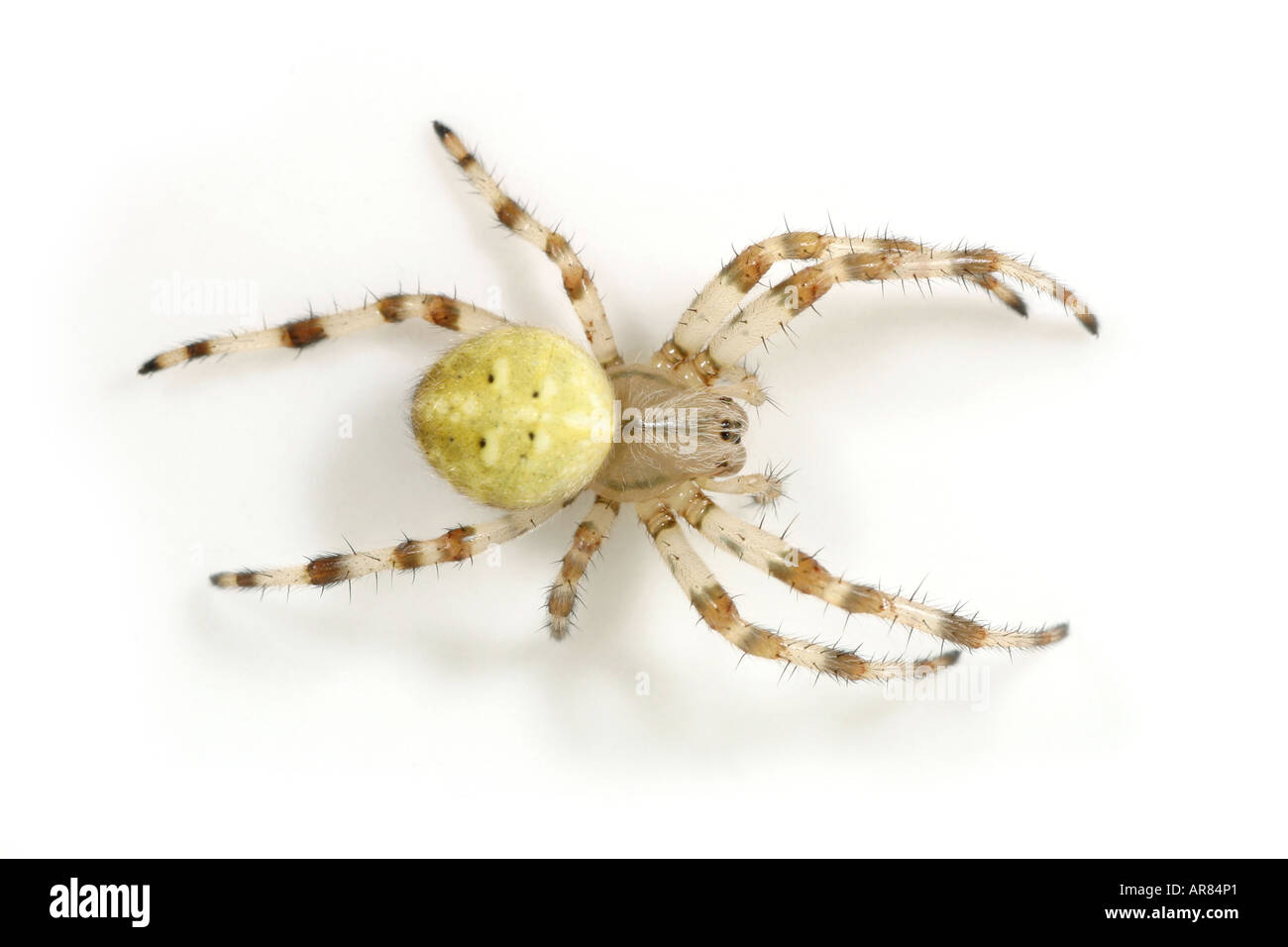 Araneus Quadratus spider on white backgroundStock Photo