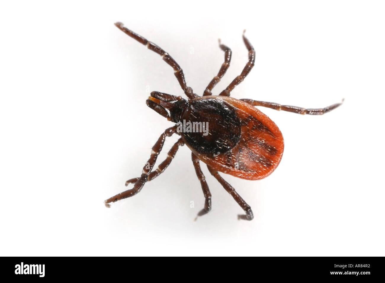 Close up of a red adult female tick on white background Stock Photo