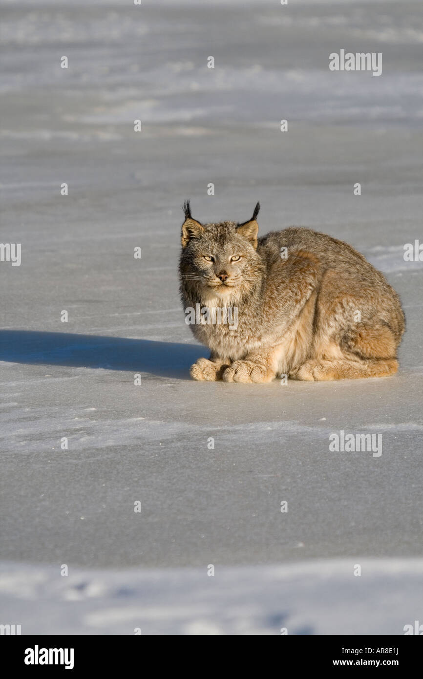 Canada lynx (Lynx canadensis) crouched on the snow covered ice - Stock Image