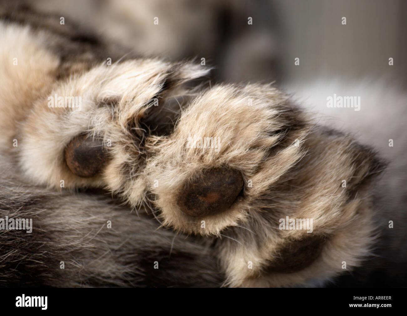 Snow Leopard Paw Stock Photos & Snow Leopard Paw Stock ...