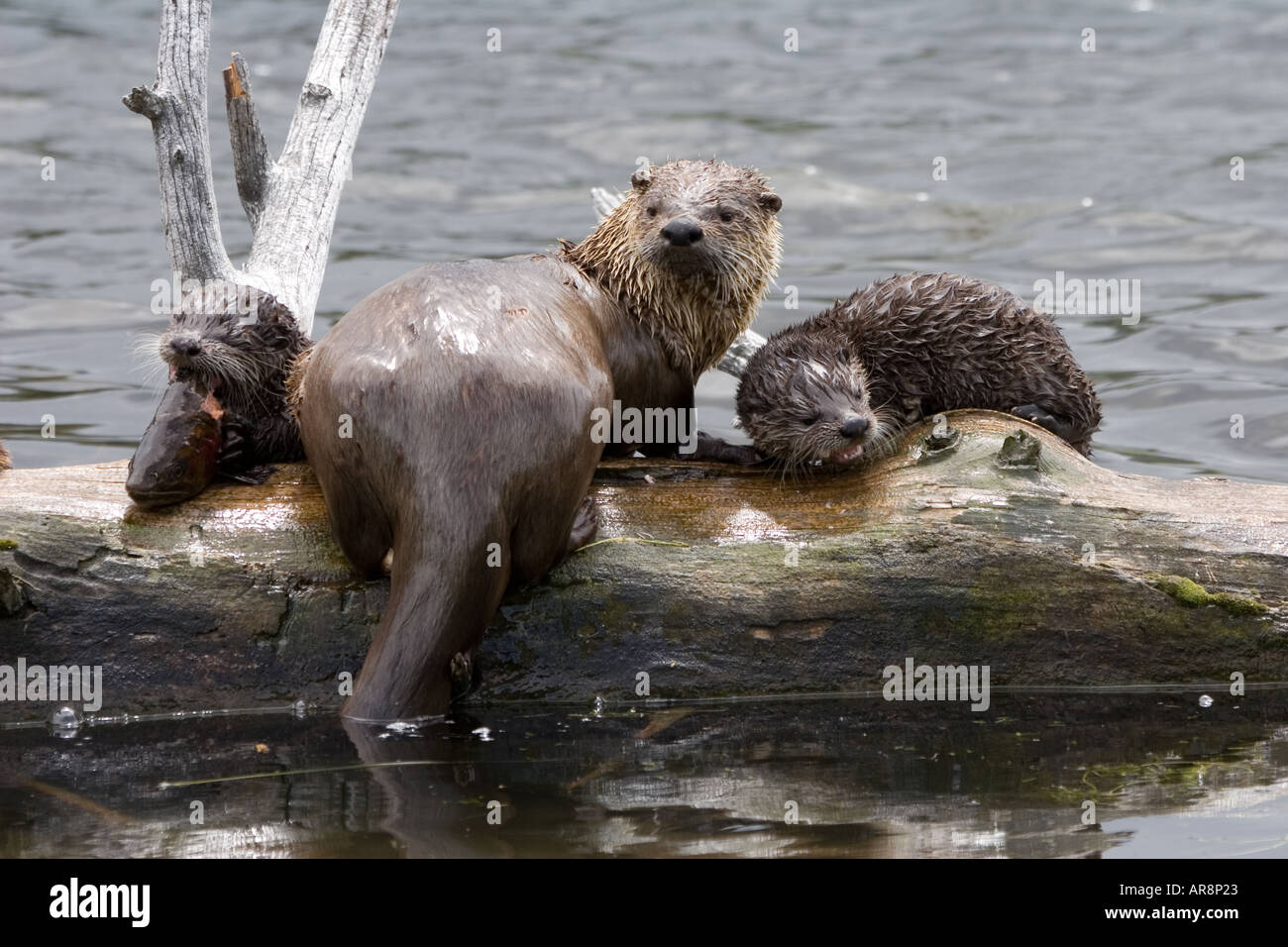 River Otter Lutra Canadensis With Babies In Yellowstone