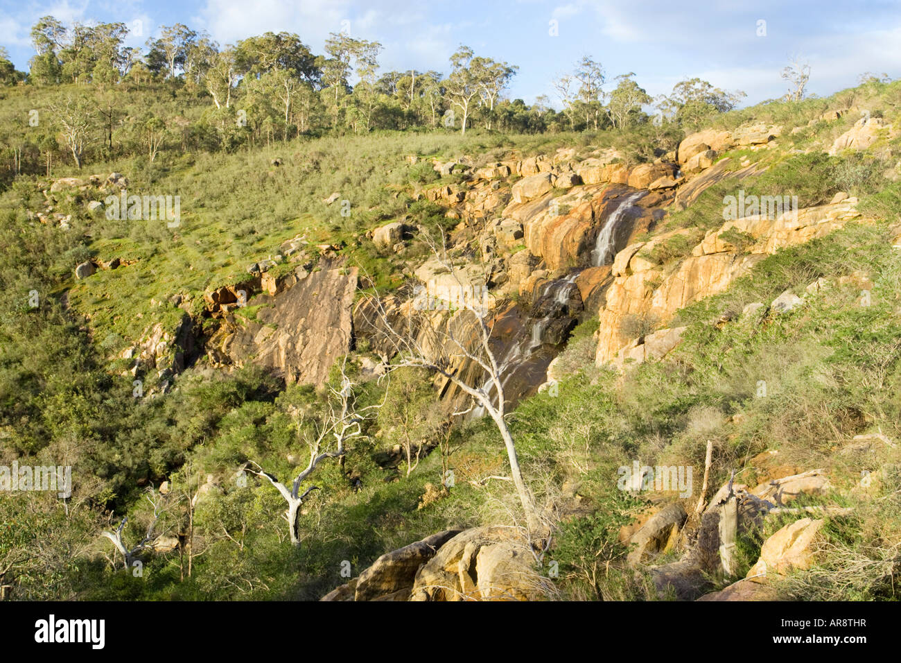 Eucalyptus Trees growing beside Ellis Brook waterfall in the Perth Hills (Darling Scarp), Western Australia - Stock Image