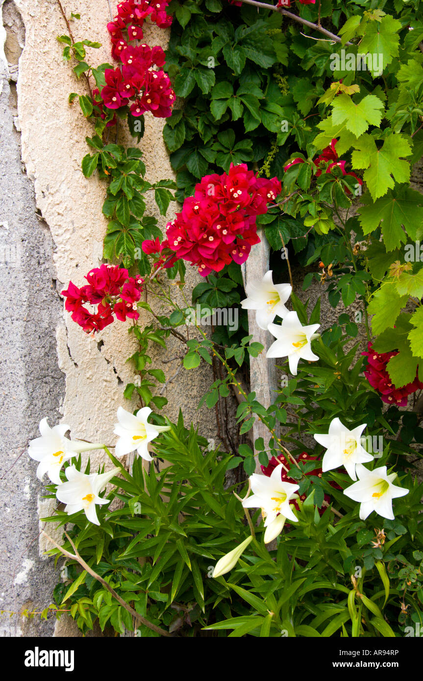 White lilies and red bougainvillea at Finikouda Messinia Peloponesse Greece - Stock Image