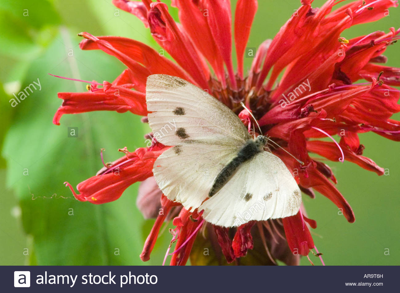 Cabbage White butterfly Pieris rapae on Bee Balm blossom - Stock Image