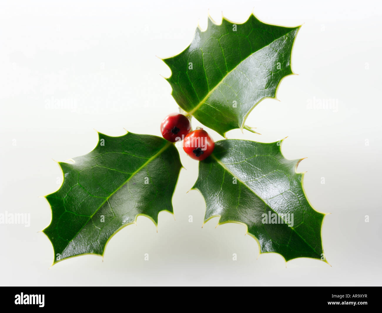 festive Christmas holly with berries against a white background - Stock Image