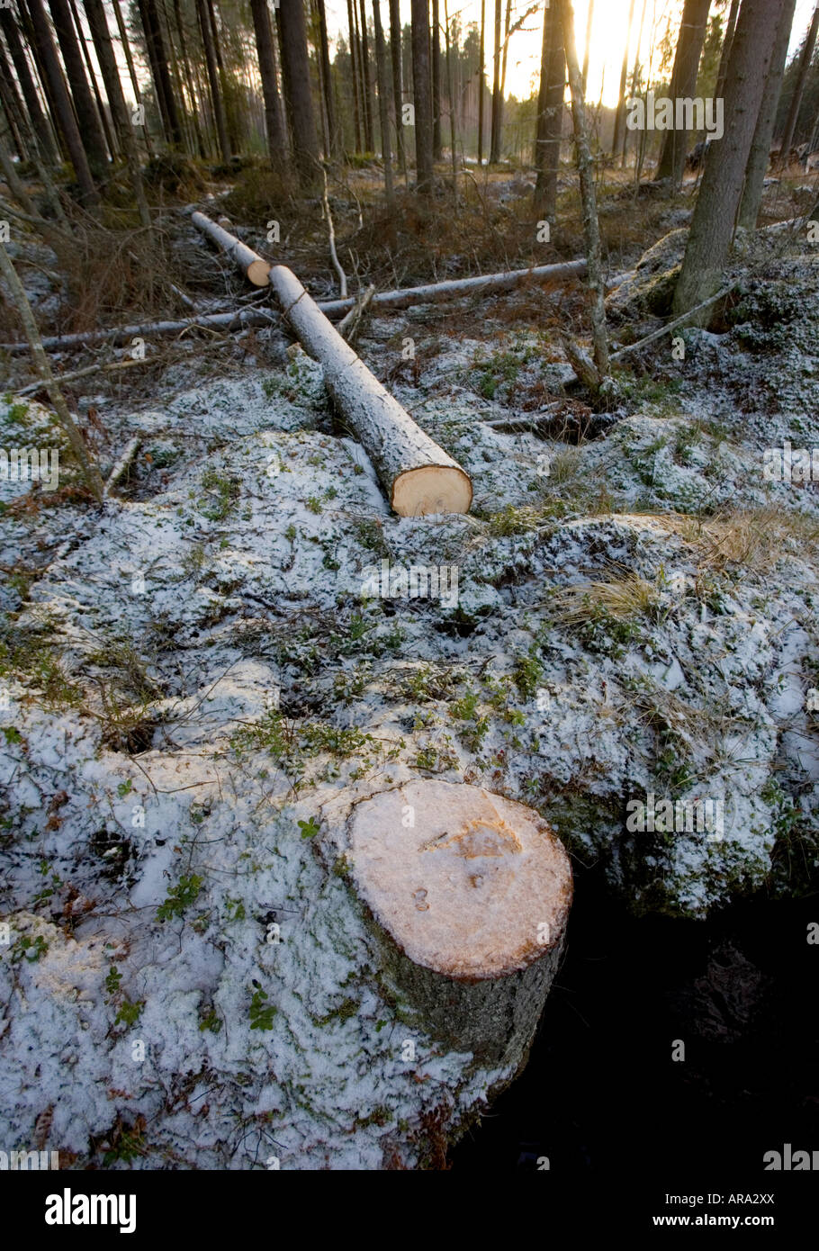 Felled and cut spruce ( picea abies )  log in forest - Stock Image