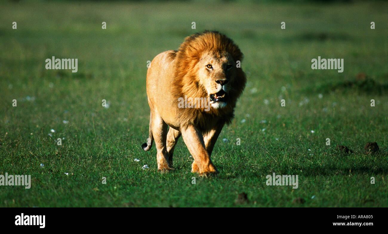 lion walking towards camera stock photos lion walking towards