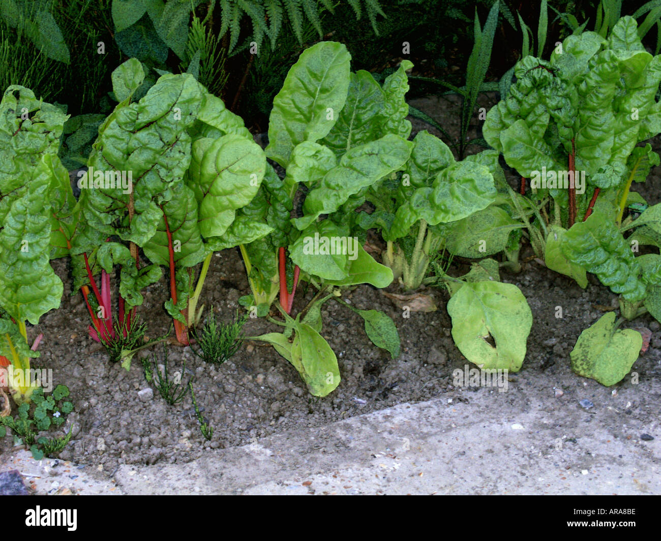 Red stemmed Swiss chard growing in Kentish garden England Europe - Stock Image