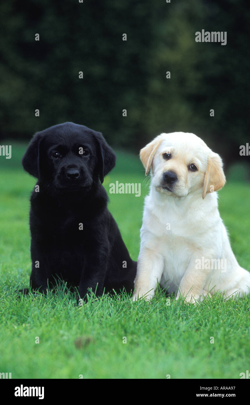 Black Labrador And Golden Labrador Puppies Sitting Next To Each
