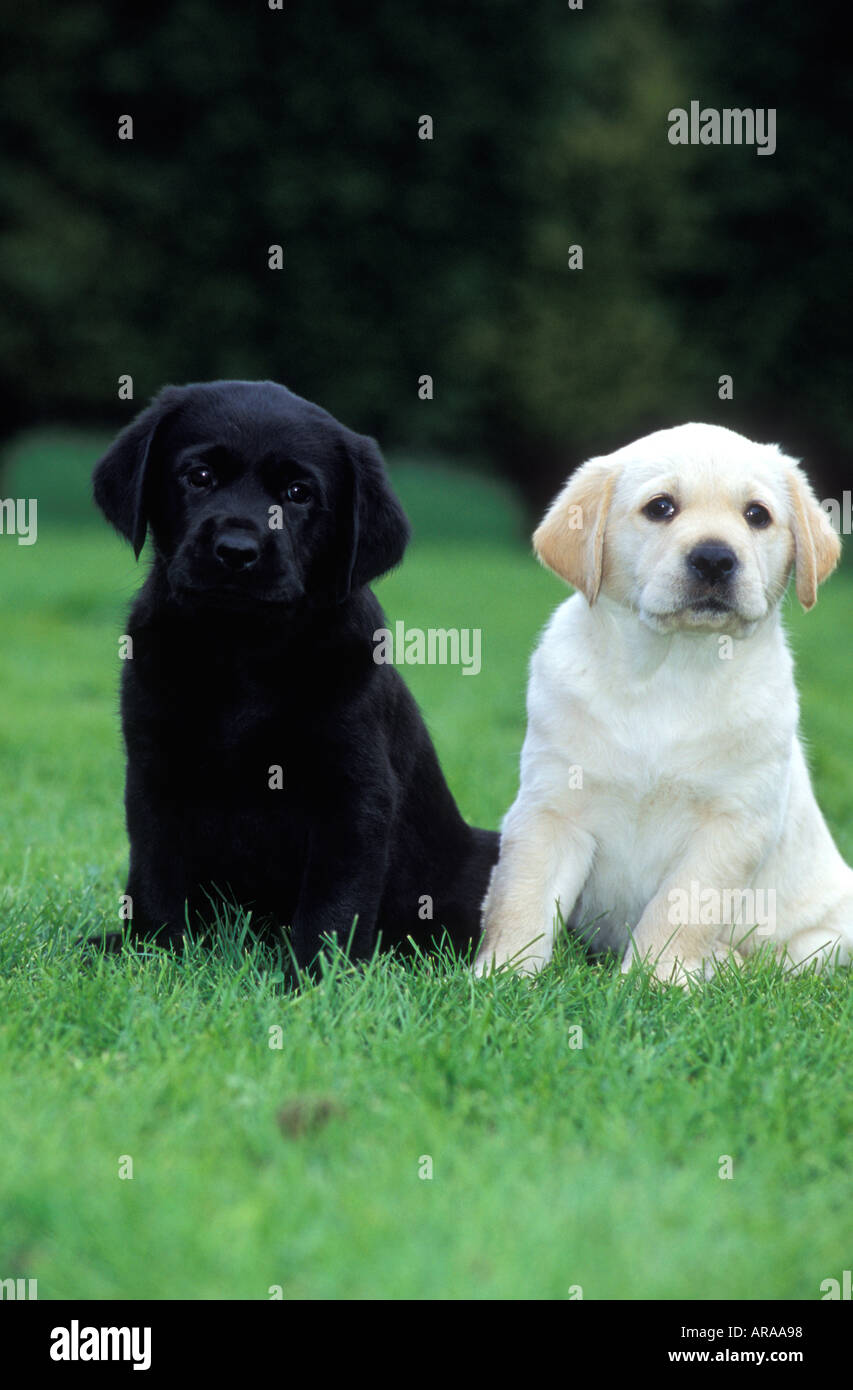 Black Labrador And Golden Labrador Guide Dog Puppies Sitting Together Stock Photo Alamy