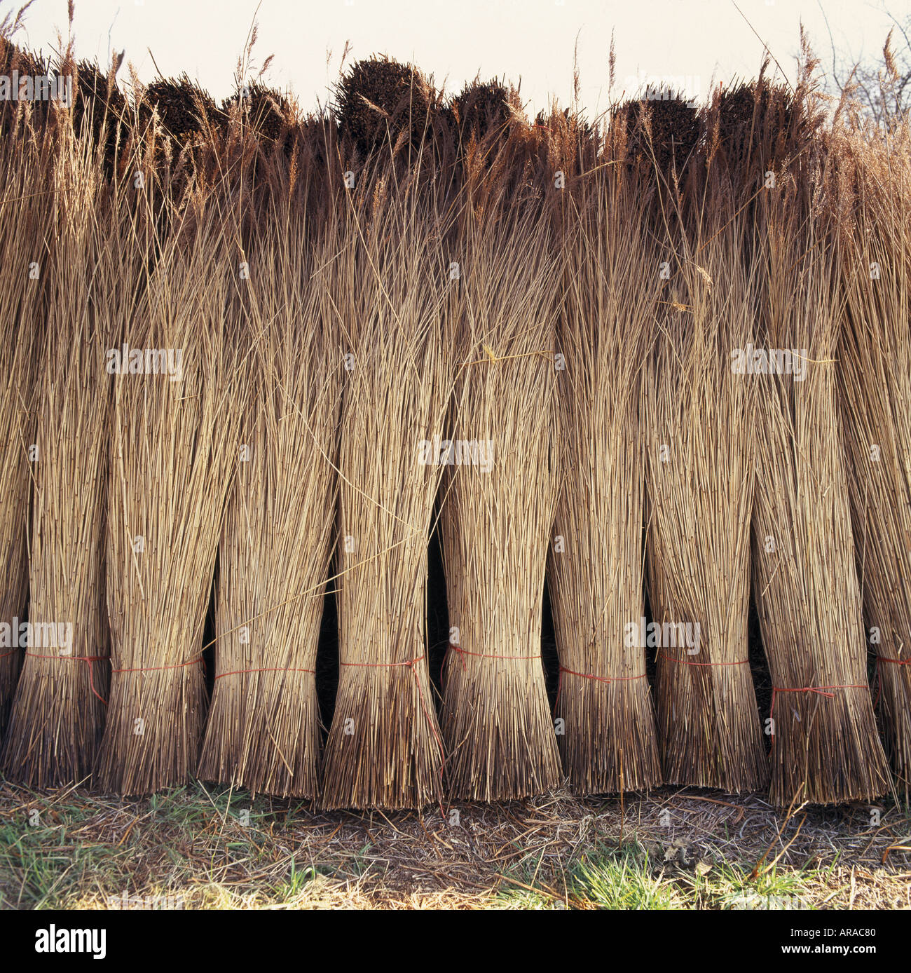 Thatching reed cut and stacked ready for use in Suffolk - Stock Image