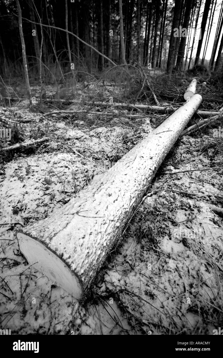 Black and white image of a felled and cut spruce  ( picea abies )  log in forest - Stock Image