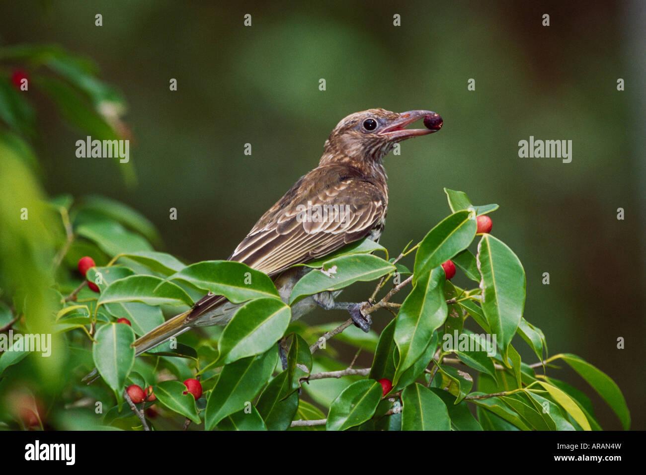 Figbird Sphecotheres viridis feeding Gladstone Queensland Stock Photo