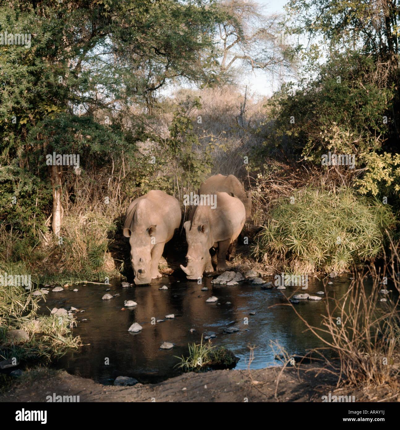 rhino blanc WHITE RHINO drinking Ceratotherium simum Africa African animal animals blooded Ceratotherium endangered - Stock Image