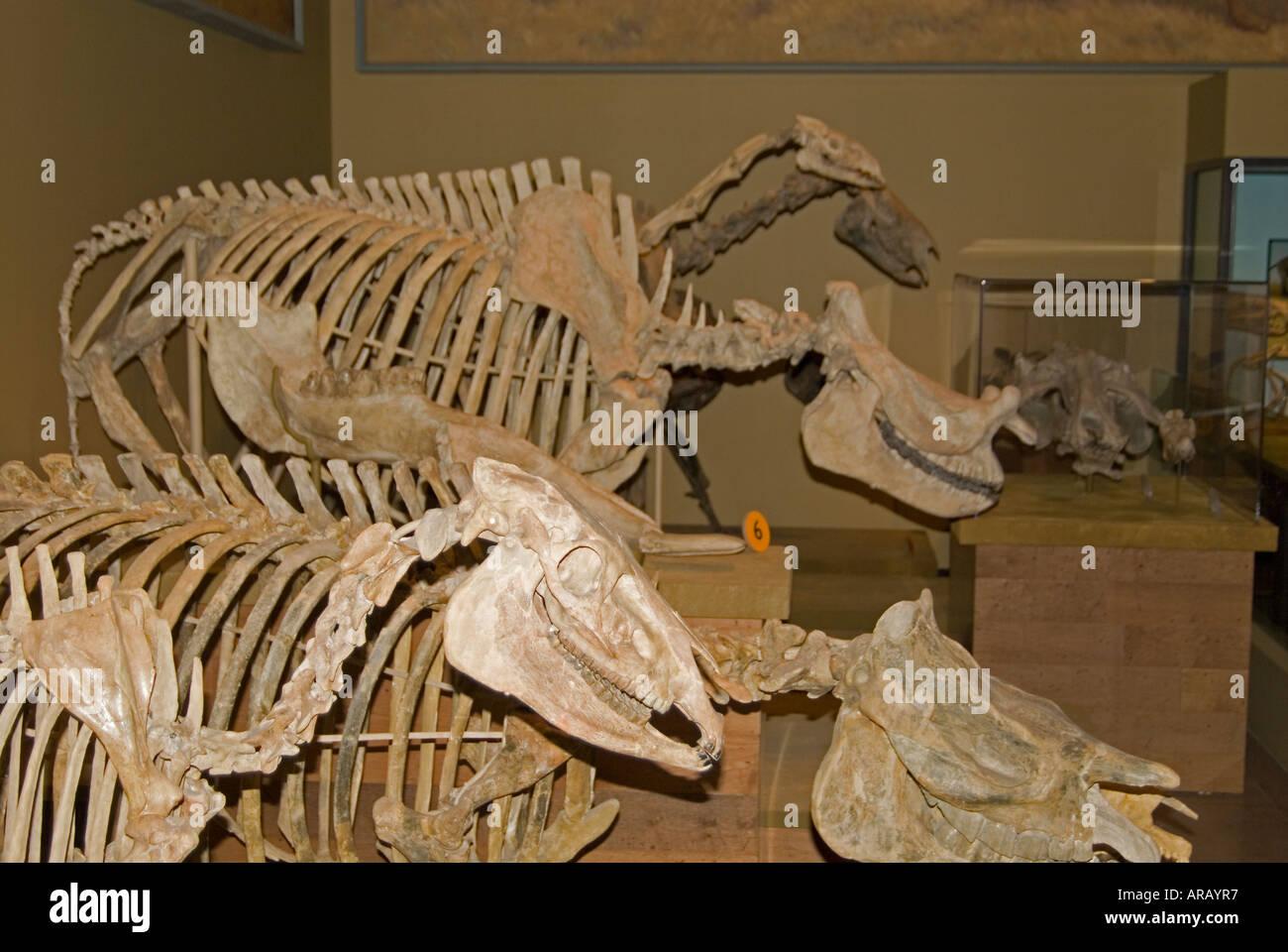 Museum Dinosaur Skeleton - Stock Image