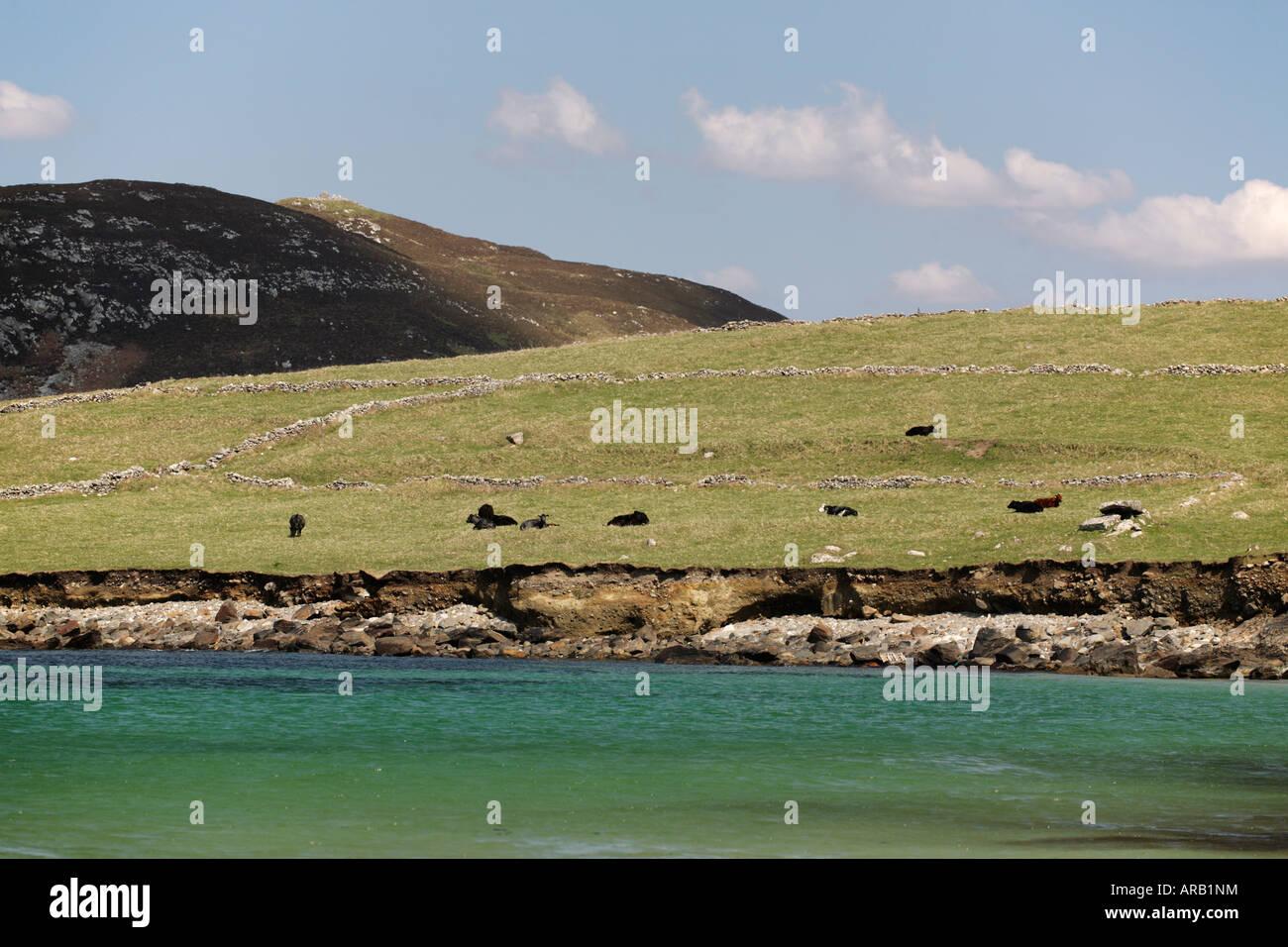 black cattles at Irish Atlantic Coast, Connemara, Ireland - Stock Image