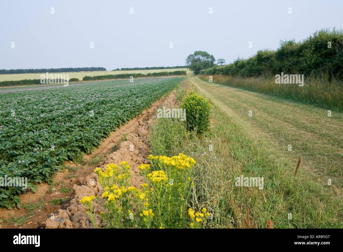 Footpath along verge by potato crop near Holkham Norfolk United Kingdom - Stock Image