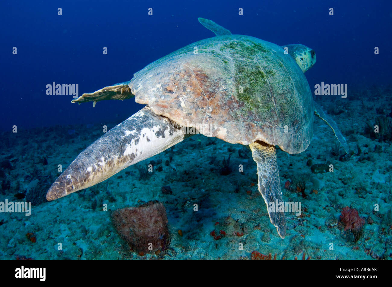 Male Loggerhead Sea Turtle Caretta caretta in Juno Beach FL Male can be differentiated from females by their long - Stock Image