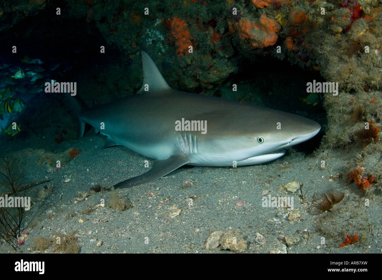 Caribbean Reef Shark Carcharhinus perezi sleeping in an underwater cave in Jupiter FL Stock Photo