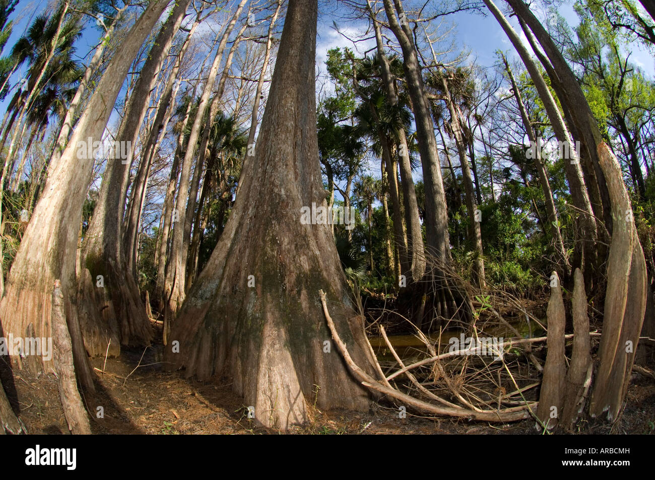 Bald Cypress Taxodium distichum along the banks of the Loxahatchee River in northern Palm Beach County FL - Stock Image
