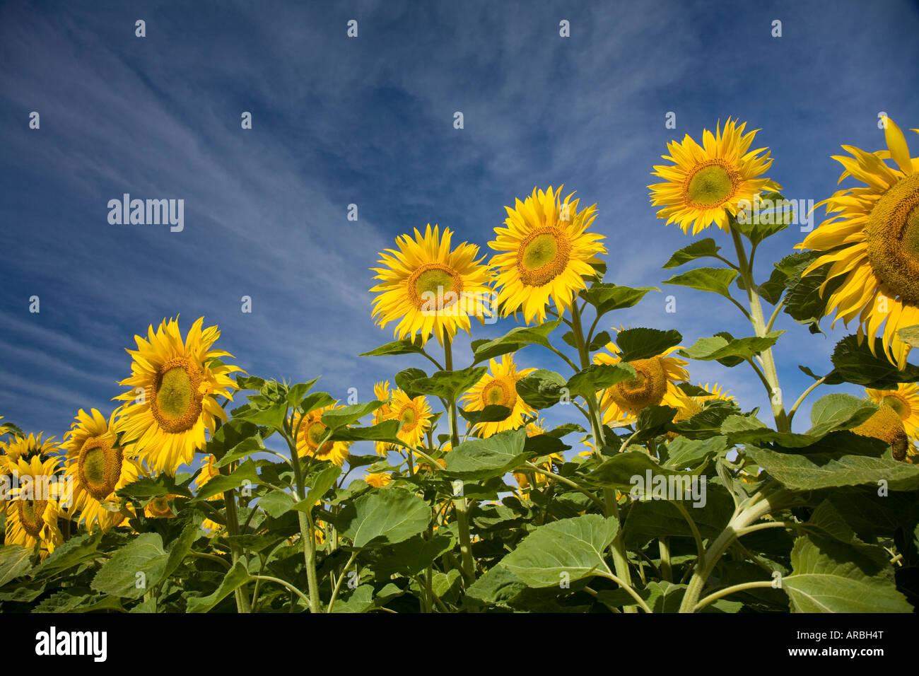 Pristine sunflowers greeting the morning sun, Oamaru, New Zealand - Stock Image