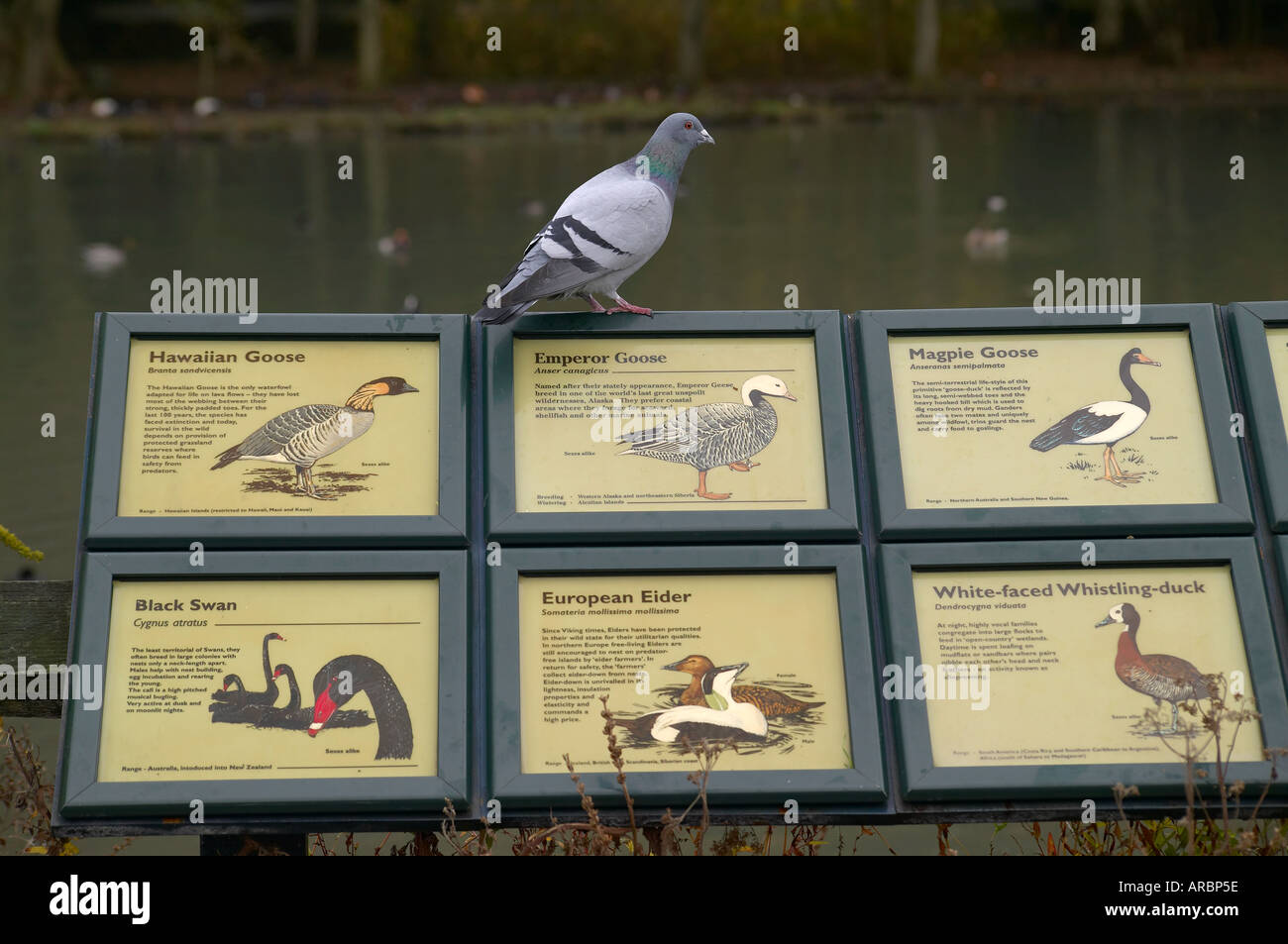 Humorous scene with pigeon Columba livia possibly having an identity crisis - Stock Image