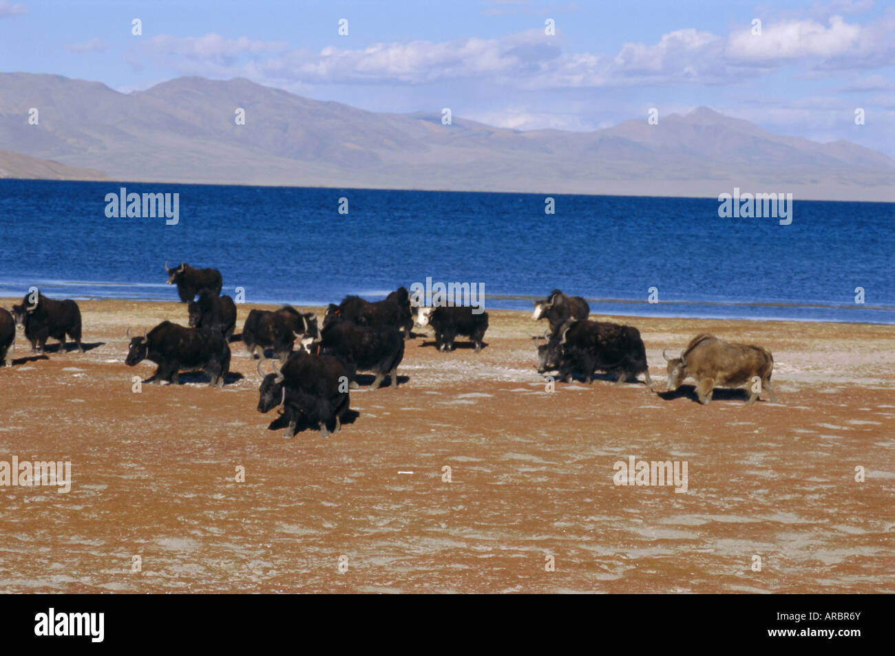 Yak herd on foreshore, sacred lake Manasarovar (Manasarowar), Kailas (Kailash) region, Tibet, China, Asia - Stock Image