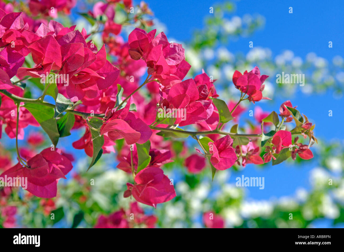 bougainvillea flowers floral pink beautiful cyprus travel tourism ...