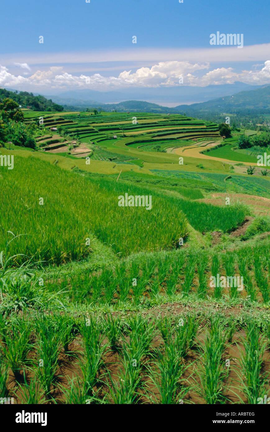 Rice terraces of the Minangkabau, a local matrilineal indigenous ethnic group, near Bukittingi, Sumatra, Indonesia - Stock Image